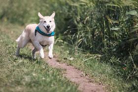 hond rennend