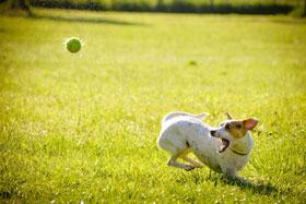 Jack Russel hond speelt met tennisbal